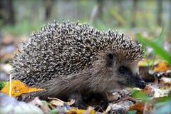 Mały jeż, śliczny dzikie zwierzę zdjęcie stock