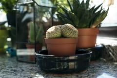 mały kaktus Zdjęcia Stock