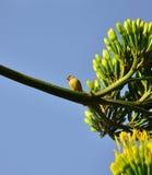 Mały kanarowy ptak na gałąź z agawą kwitnie Obraz Stock