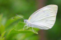 Mały kapuścianego bielu motyl zdjęcie royalty free