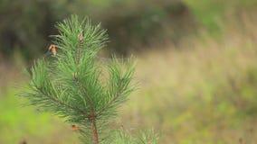 Mały kiełkowy conifer zdjęcie wideo