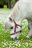 Mały koń na łące Fotografia Stock
