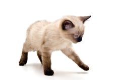 mały kociak dokuczająca Obraz Stock
