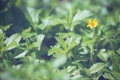 Mały kolor żółty gwiazdy kwiat Obraz Royalty Free