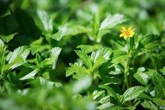Mały kolor żółty gwiazdy kwiat Obrazy Royalty Free