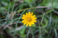 Mały kolor żółty gwiazdy kwiat zdjęcie stock