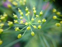 Mały kolor żółty kwitnie fotografię dla tła Fotografia Royalty Free