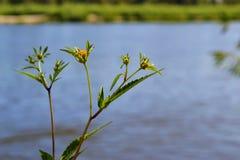 Mały kolor żółty kwitnie przeciw błękitnej rzece zdjęcie stock