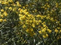 Mały kolor żółty kwitnie w wiośnie zdjęcie royalty free