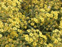 Mały kolor żółty kwitnie w wiośnie fotografia royalty free