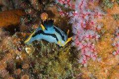 Mały Koronowany nudibranch Polycera capensis na rafie zdjęcie stock