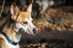 Mały kosmaty psi portugalczyk Podengo jest ubranym błękitnego kołnierz obraz royalty free
