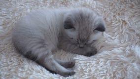 Mały kot kłama na koc zdjęcie wideo