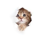 Mały kot przyglądający up w papier strona drzejącej dziurze zdjęcia stock