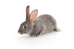 mały królik Zdjęcia Royalty Free