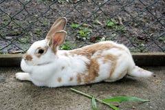 Mały królik Obrazy Royalty Free