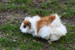 Mały królik doświadczalny w łące Obraz Royalty Free