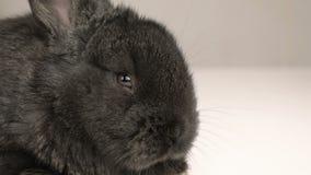 Mały królik lub królik zamknięci w górę zdjęcie wideo