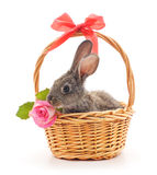 Mały królik w koszu z różą Obraz Royalty Free