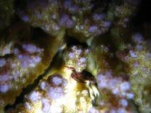 Mały krab w malinowym koralu zdjęcia royalty free