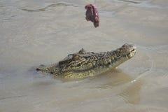Mały krokodyl unosi się na powierzchni woda fotografia royalty free