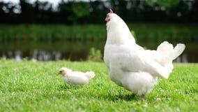 Mały kurczaka i karmazynki chodzący odprowadzenie na zielonej trawie zbiory wideo