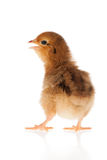 Mały kurczaka studio odizolowywający Fotografia Stock