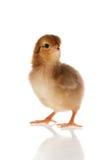 Mały kurczaka studio odizolowywający Zdjęcia Stock