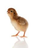 Mały kurczaka studio odizolowywający Zdjęcie Royalty Free