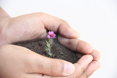 Mały kwiat na małej ręce z białym tłem fotografia stock