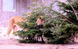Mały lew Cubs Zdjęcia Stock