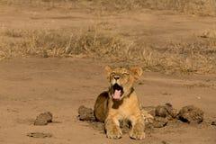 Mały lew filiżanki ziewanie zdjęcia royalty free