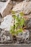Mały lub roślina dorośnięcie na rockowej ścianie Obraz Royalty Free
