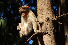 Mały Małpi dopatrywanie Fotografia Royalty Free