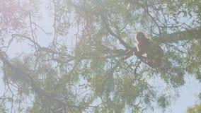 Mały małpi doskakiwanie od gałąź gałąź duży drzewo na skale Gibraltar przeciw niebieskiemu niebu zbiory wideo