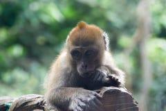 Mały małpi odpoczywać na gałąź Obraz Royalty Free