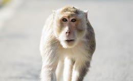 Mały małpi patrzeć dla coś 5 Fotografia Royalty Free