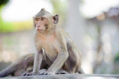 Mały małpi patrzeć dla coś 3 Obrazy Stock