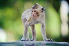 Mały małpi patrzeć dla coś 4 Obraz Stock