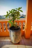 Mały manggo drzewo w wysokiej budynek fotografii brać w depok Jakarta Indonesia obrazy stock