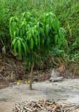 Mały mangowy drzewo przy plantacją obraz stock
