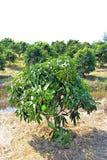 Mały mangowy drzewo w ogródzie fotografia royalty free