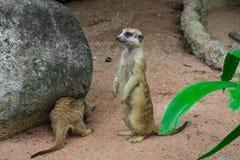 Mały meerkat dopatrywanie posyłać w dżungli Fotografia Royalty Free