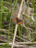 Mały miedziany motyl Fotografia Stock