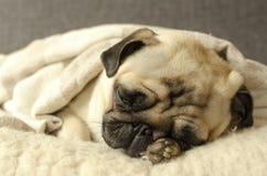 Mały mopsa dosypianie na wełna chwytach i poduszce łapa pod zdjęcie royalty free