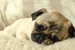 Mały mopsa dosypianie na wełna chwytach i poduszce łapa pod głową zdjęcie royalty free
