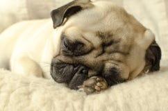 Mały mopsa dosypianie na wełna chwytach i poduszce łapa pod głową zdjęcie stock