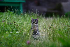 Mały myśliwego kot Zdjęcia Stock