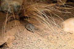 Mały mysz sen! zdjęcia royalty free