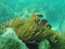 Mały Nemos Fotografia Royalty Free